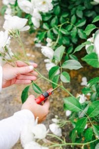 how to cut back roses