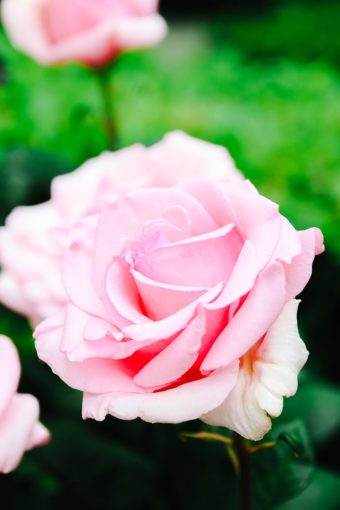 how to grow bigger roses